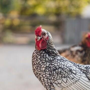 Quel régime alimentaire adopté pour votre poule pondeuse?